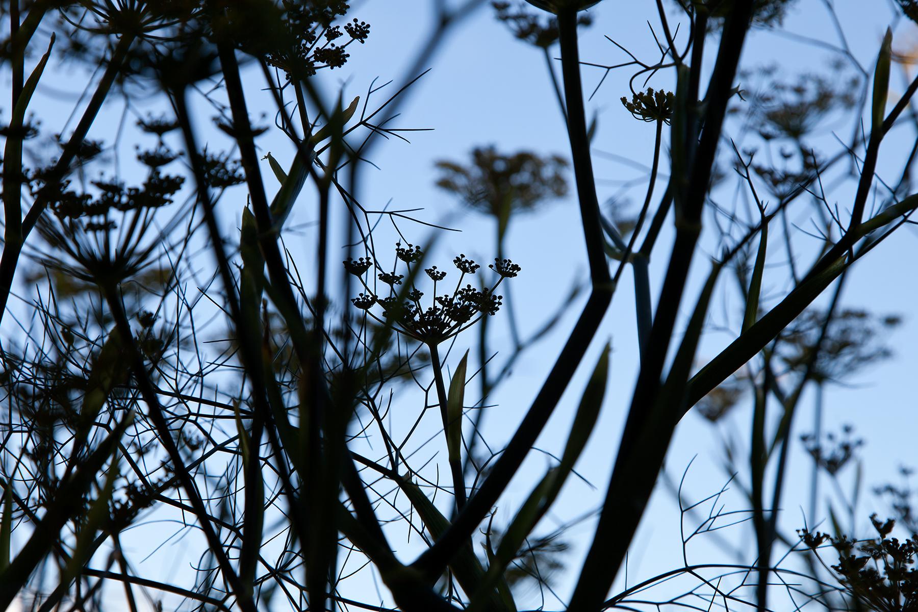 Wild-fennel-silhouette