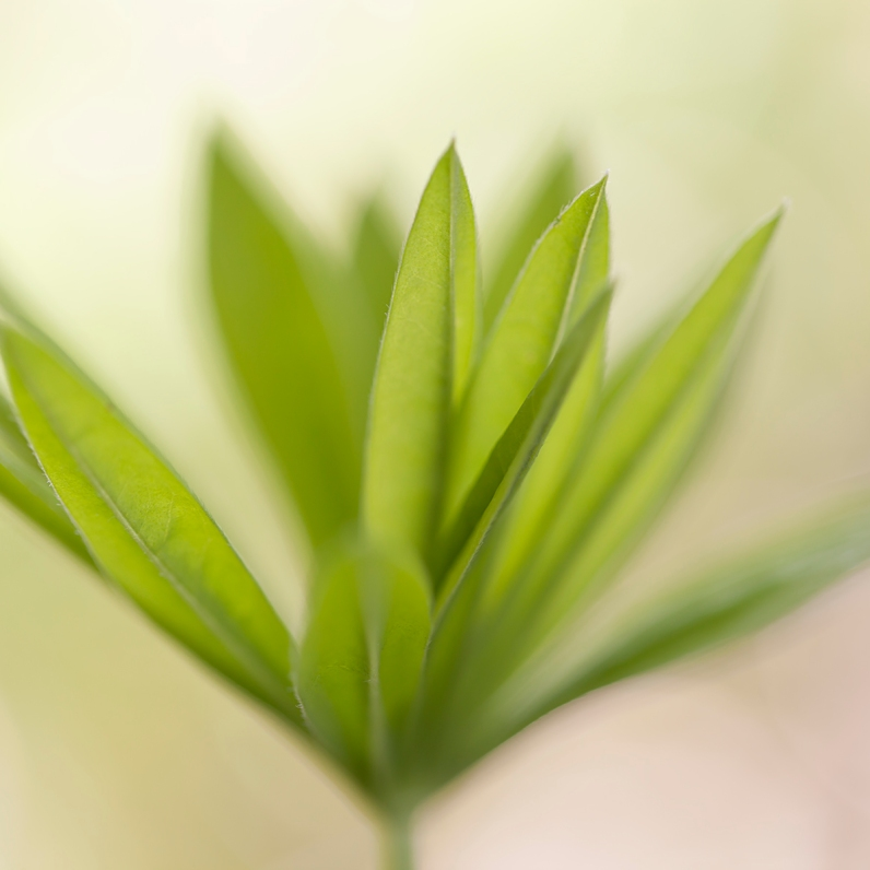 On the Verge - Lupin leaves