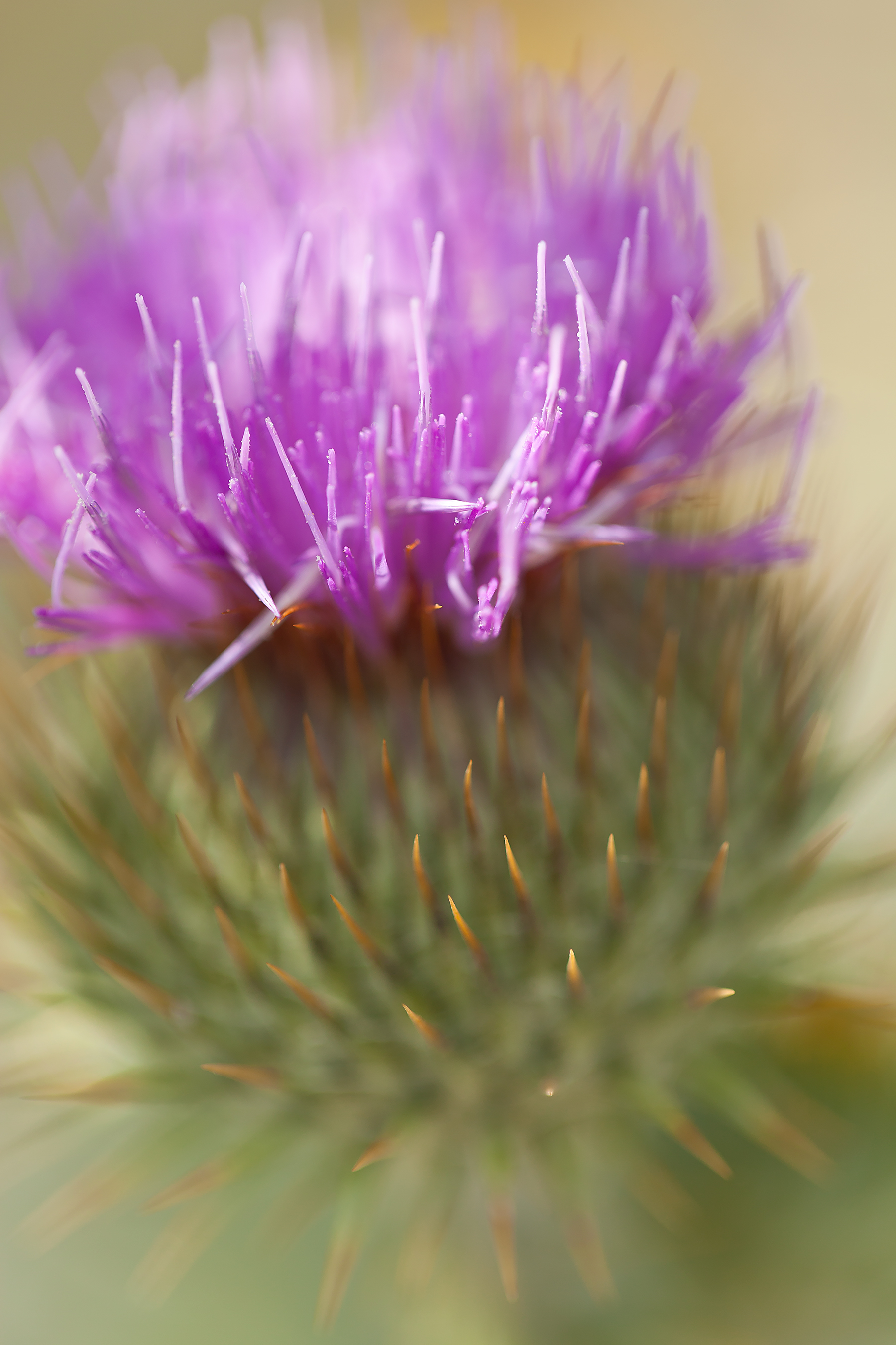 Scotch-thistle.jpg