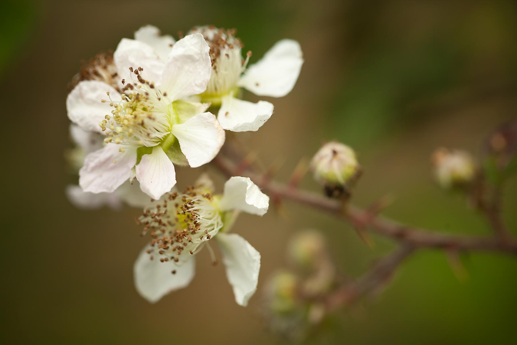Blackberry-blossom-II