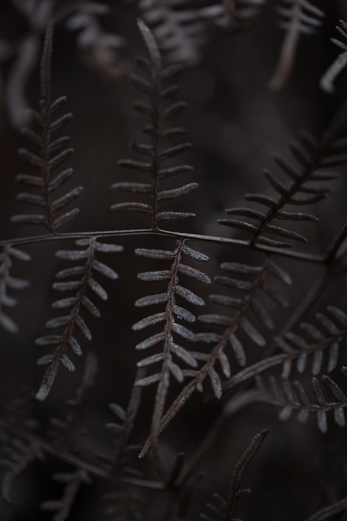 Winter-bracken-fern