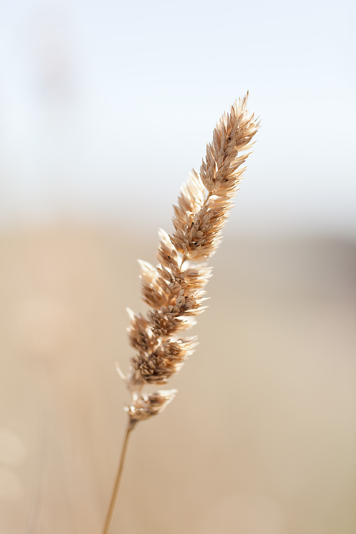 Reed-canary-grass