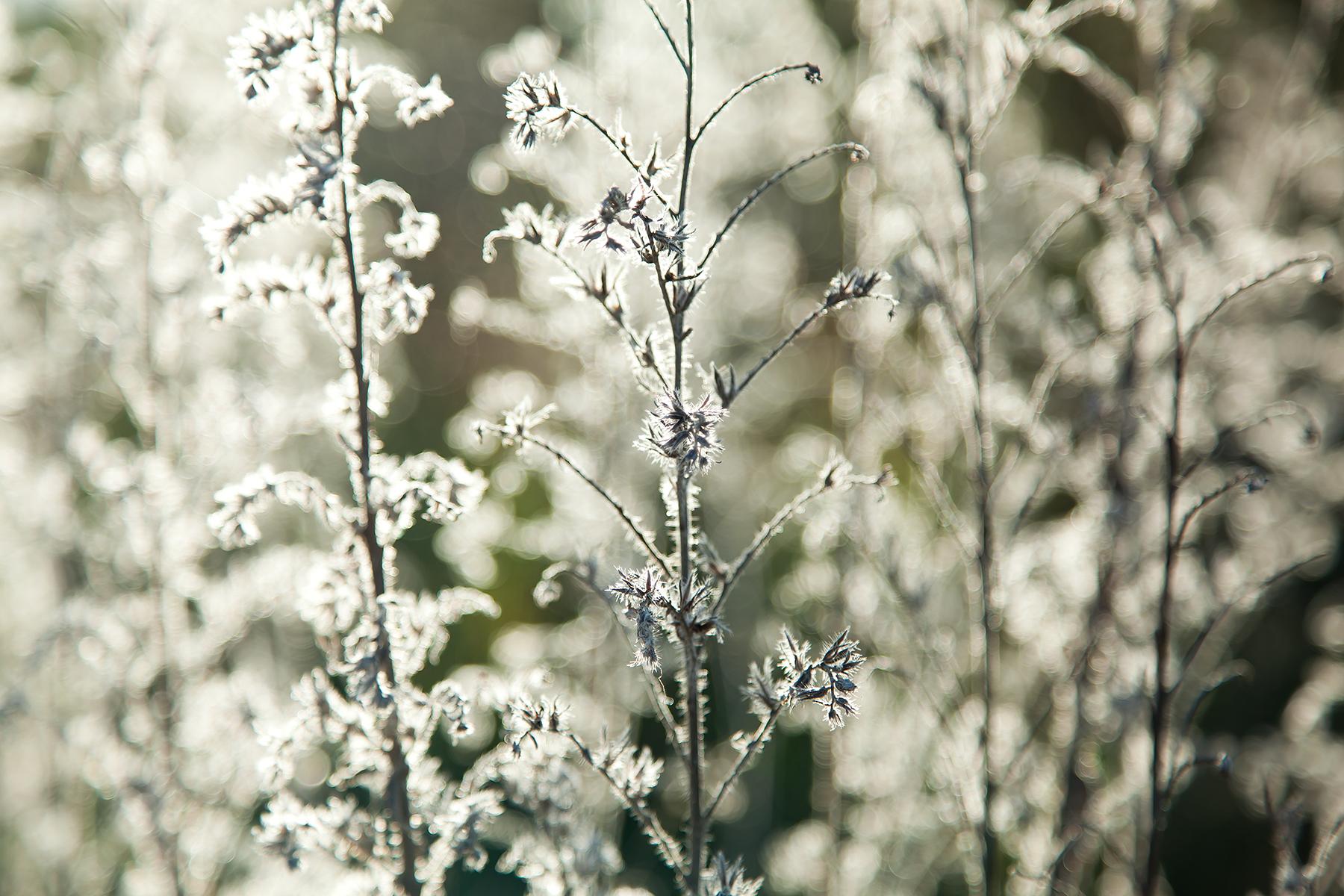 Winter-Bugloss