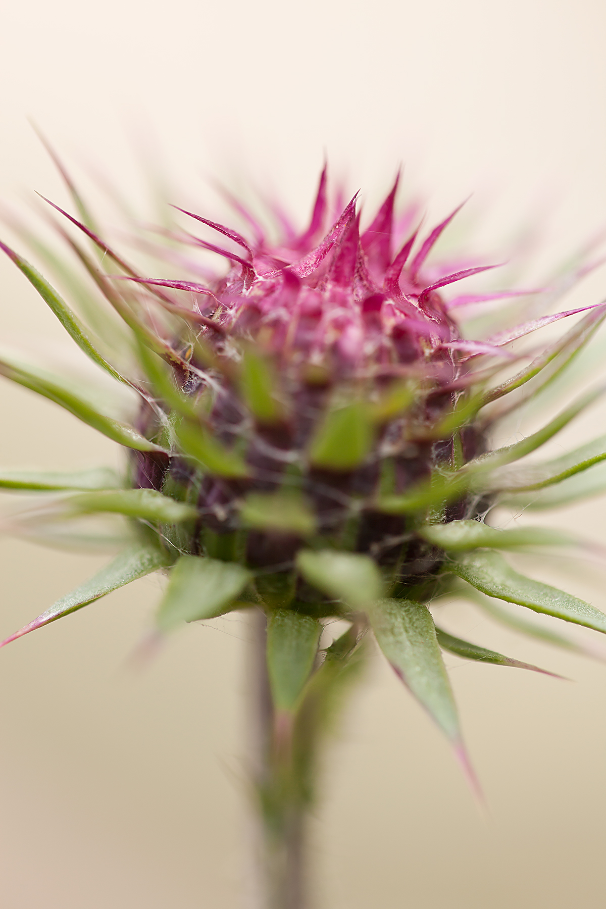 scotch-thistle-ii